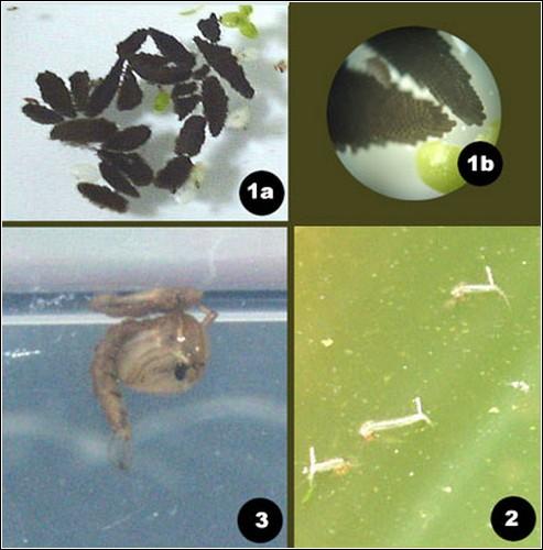 Жизненный цикл москита: 1- яйцо, 2 – личинка, 3 – куколка, 4 – взрослая особь (на картинке выше).