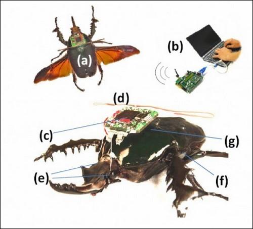Расположение радиоуправляемых электродов на теле жука-носорога.