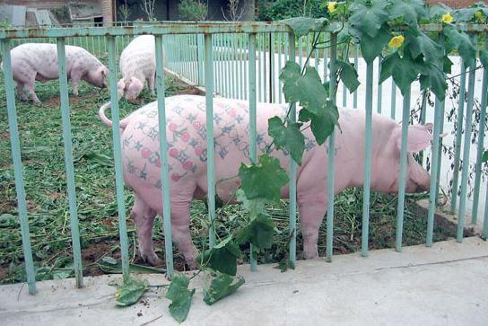 Свинки, татуированные спинки