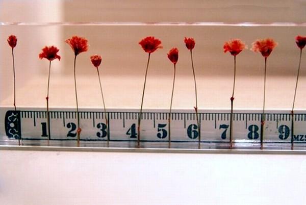 Линейка Flowers, которая измеряет в цветах, а не сантиметрах