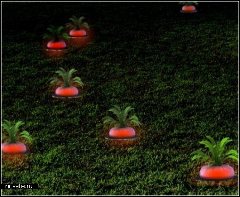 Редиска-фонарь The ripe radish
