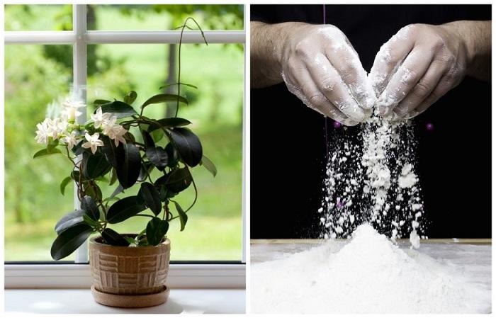 Посыпайте мукой растения, чтобы вредители не если листья