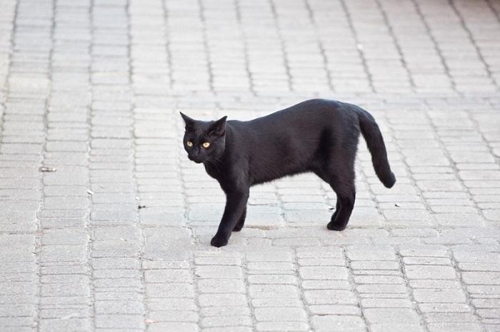 Если черная кошка перебежала дорогу - это к беде. / Фото: Nprimeta.ru