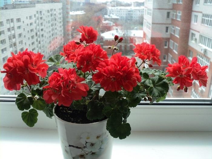 Герань красиво цветет, но аромат специфический. / Фото: plodogorod.com