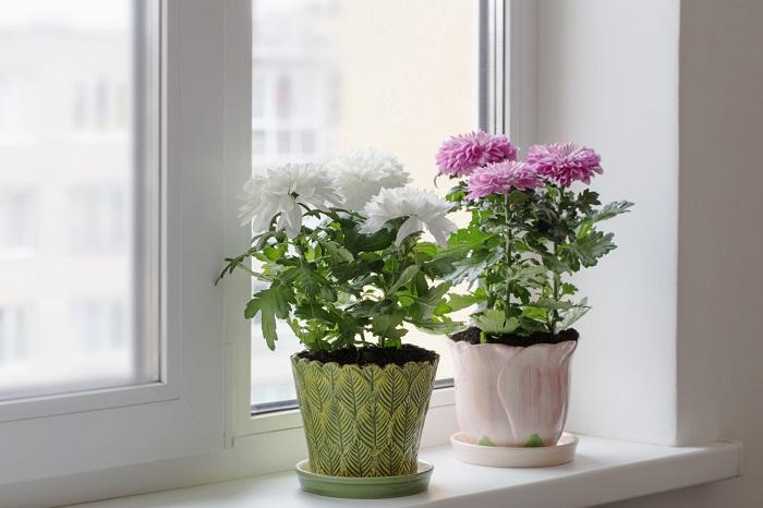 Хризантемы бывают разных цветов. / Фото: vasha-teplitsa.ru