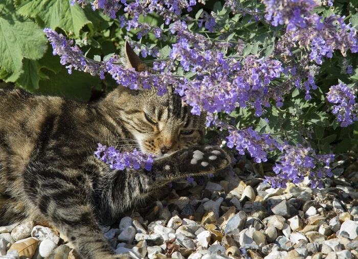 Котовник лимонный очень любят коты. / Фото: krassever.ru