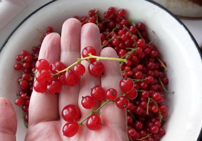 Красная смородина помогает избавиться от различных загрязнений. / Фото: gastronom.ru