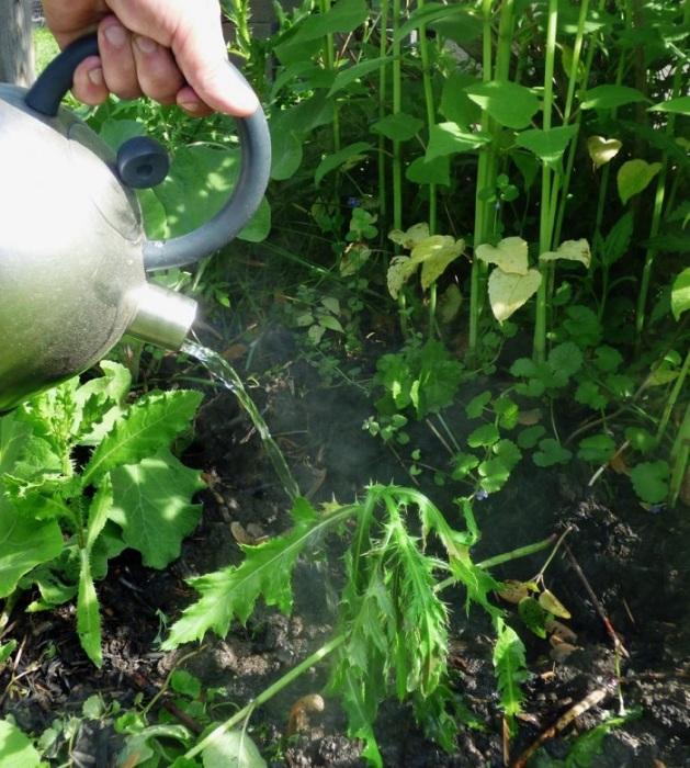 Горячая вода эффективна для борьбы с сорняками. / Фото: severdv.ru