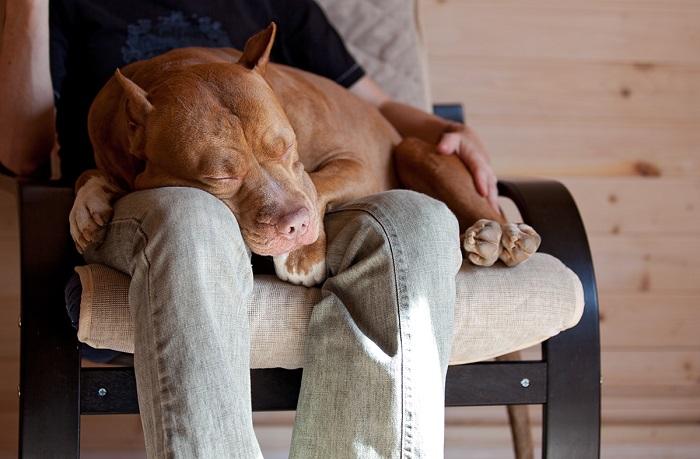 Некоторые собаки любят запрыгивать гостям на колени. / Фото: dogoff.ru