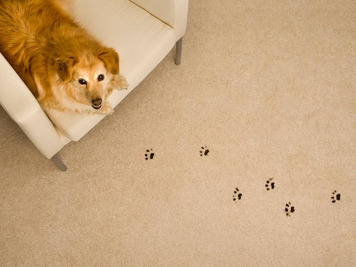 Если после прогулки не помыть лапы собаки, останутся следы. / Фото: ukpets.com
