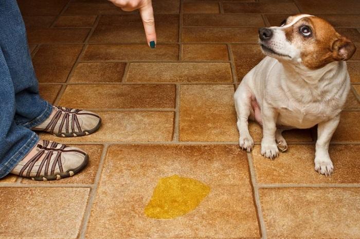 Иногда собаки не могут приучится к пеленке и ходят в туалет прямо на полу. / Фото: web-zoopark.ru