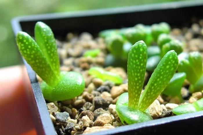 «Кролики» monilaria obconica - самые милые в мире суккуленты