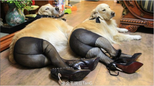 Собаки в колготках стали популярным мемом в Китае