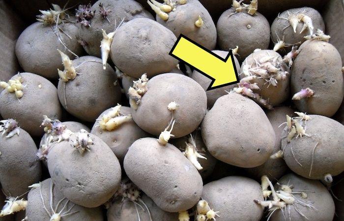 Какую картошку нельзя употреблять в пищу: 3 подсказки, которые могут спасти от отравления