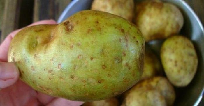 Картофель с зелеными участками.