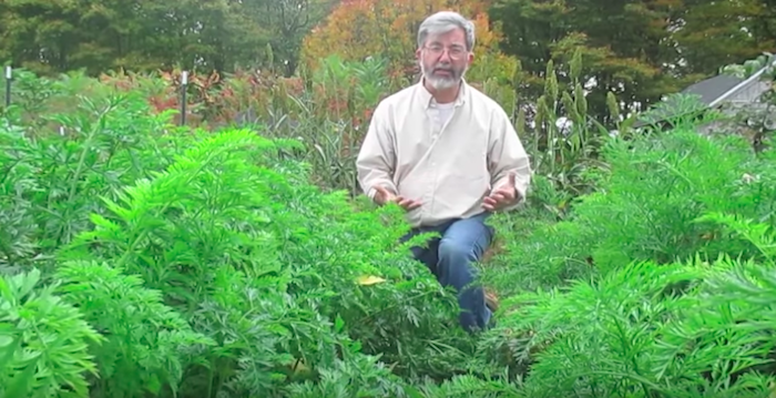 Садим морковь по методу Хенирика Кимбалла.
