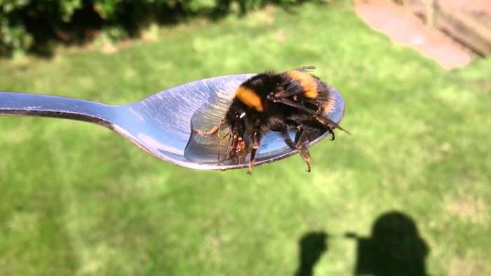 Даже пчелу можно покормить из ложечки.