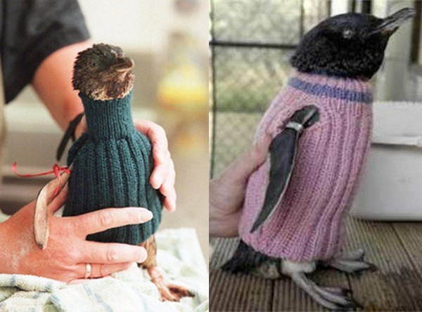 Птичья мода: спасти пингвина, подарив ему вязаный джемпер