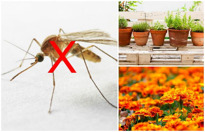 Спасительные растения, которые избавят от комаров.