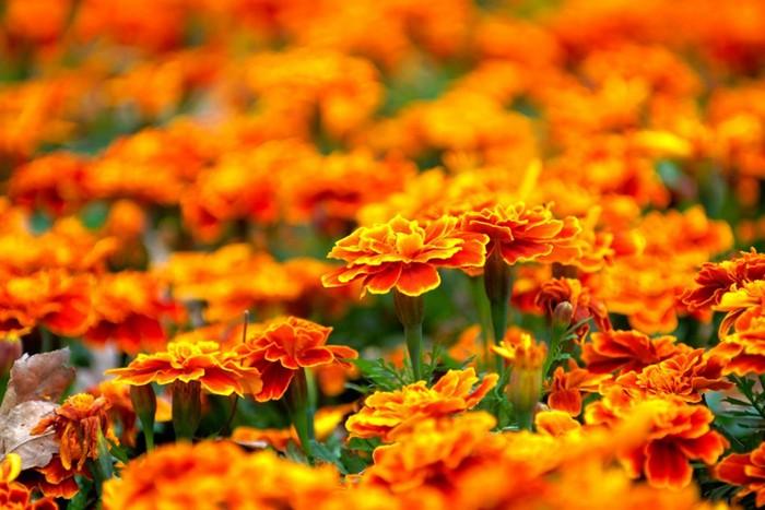 Эти яркие цветы поднимут настроение и изведут комаров.