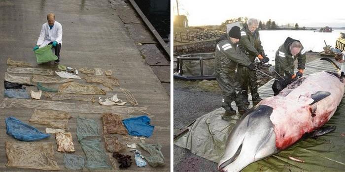 В желудке этого кита обнаружена 30 пластиковых пакетов. Увы, такие находки нынче – не редкость.