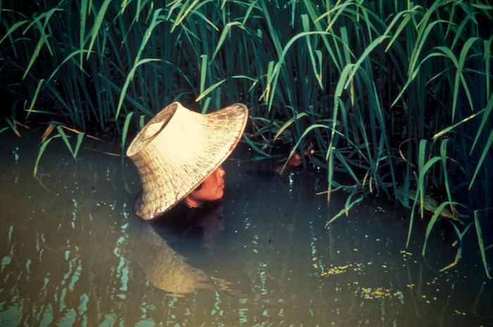 Главная причина насыщения риса мышьяком – вода.