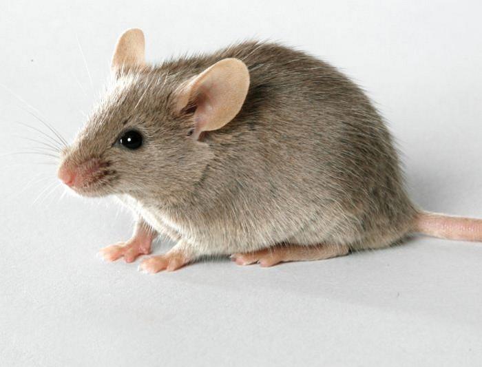 Неожиданный и эффективный способ, как прогнать мышей из дома