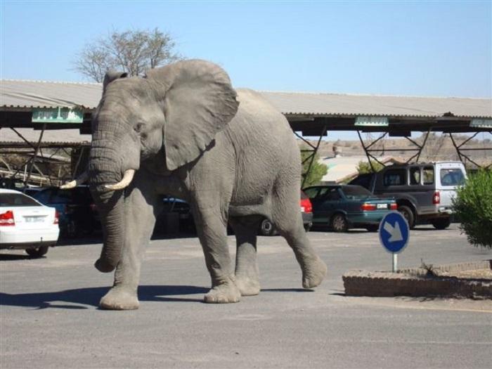 Слон на парковке/ Фото: wheninyourstate.com
