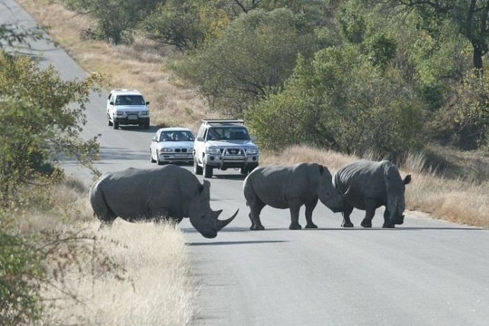 На дорогах Южной Африки принято уступать путь диким животным/ Фото: fishki.net