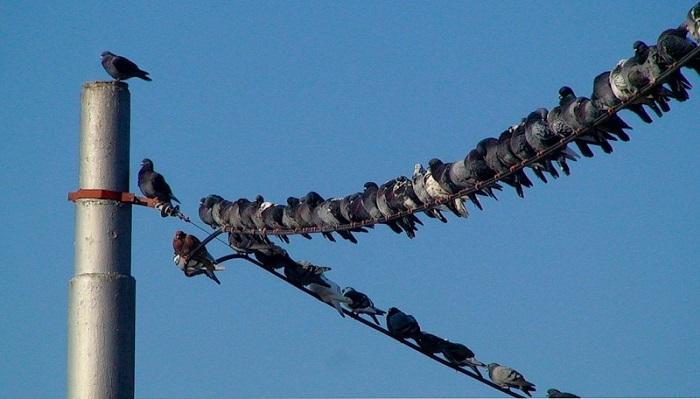 Сидящие на проводах птицы/ Фото: absurdopedia.net