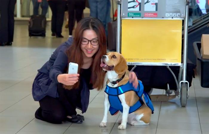 В аэропорту Амстердама работает пес, который лично возвращает пассажирам потерянные вещи