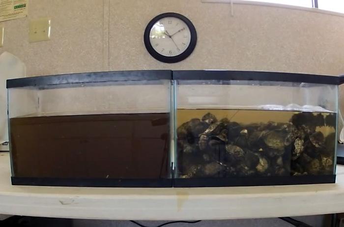 Таймлапс-видео: устрицы очищают аквариум с грязной водой