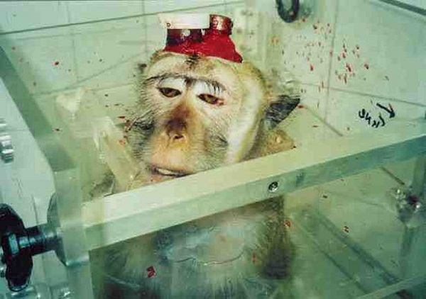 Китайский деликатес - мозг живой обезьяны