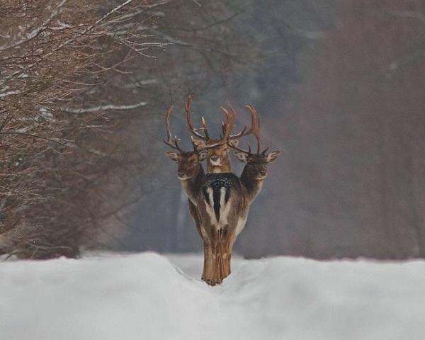 Трехголовый олень.