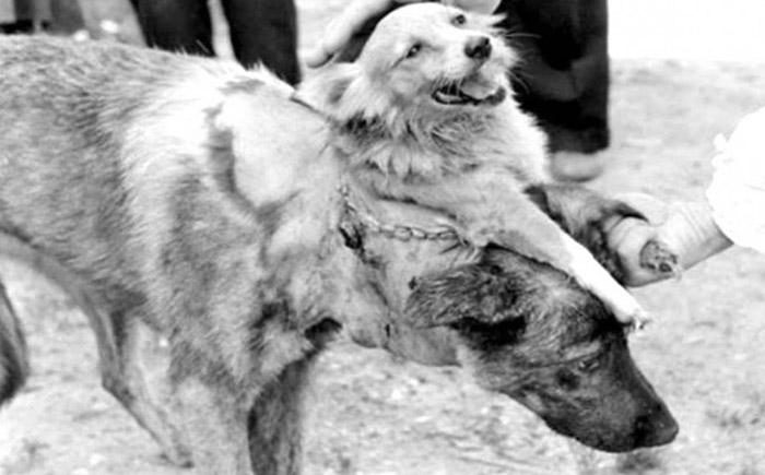 Двуглавая собака