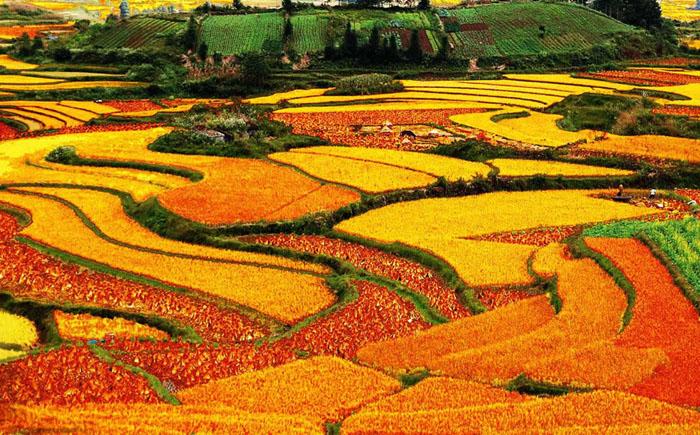 Разноцветные рисовые террасы