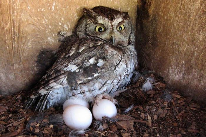 Яйцо совы