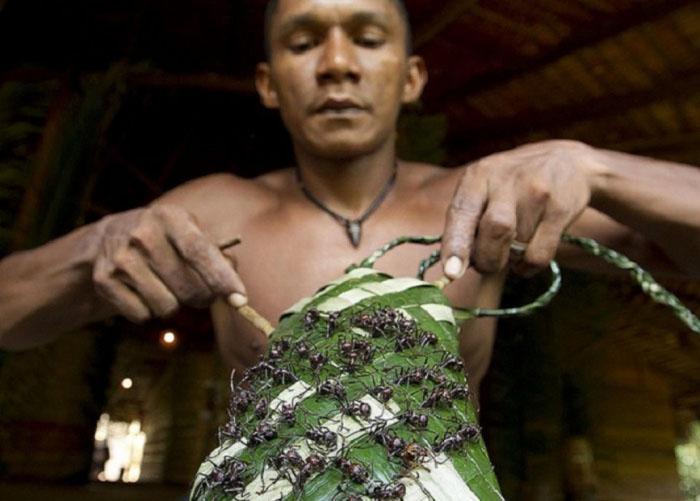 Перчатка из муравьёв-пуль племени сатере-маве