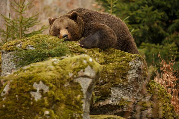 Аляска – закон, запрещающий будить медведей
