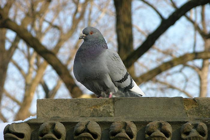 10 интересных фактов о голубях, которые заставят изменить отношение к ним