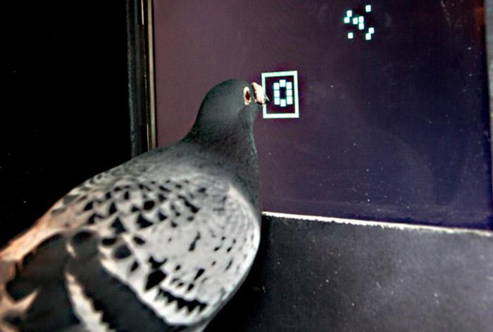 Голуби разбираются в математике
