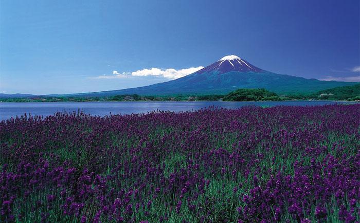 Бесконечные поля сиреневых цветов на белоснежном фоне горы Фудзи