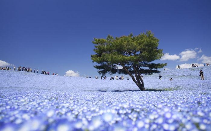 Цветочные поля в парке Хитачи-Сисайд