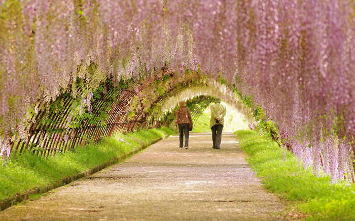 Пара, идущая по туннелю цветущей глицинии