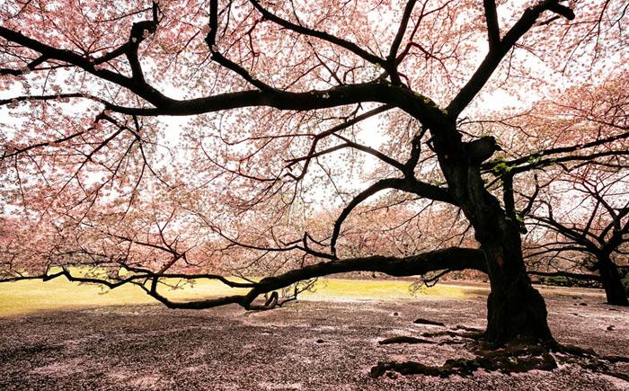 Массовое цветение сакуры