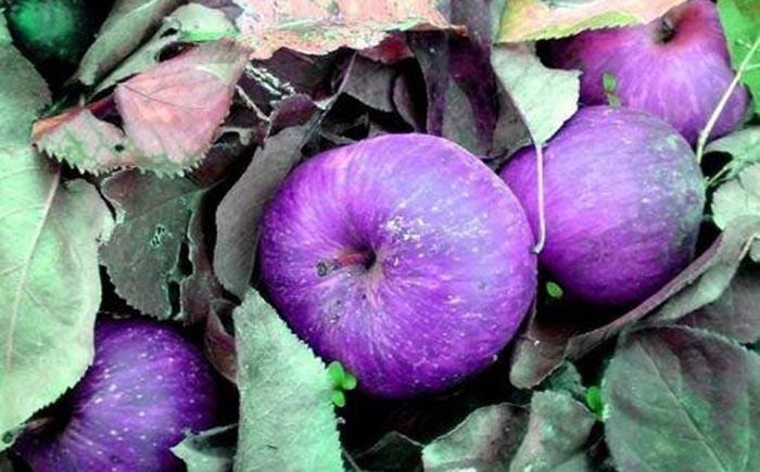 Фиолетовые яблоки