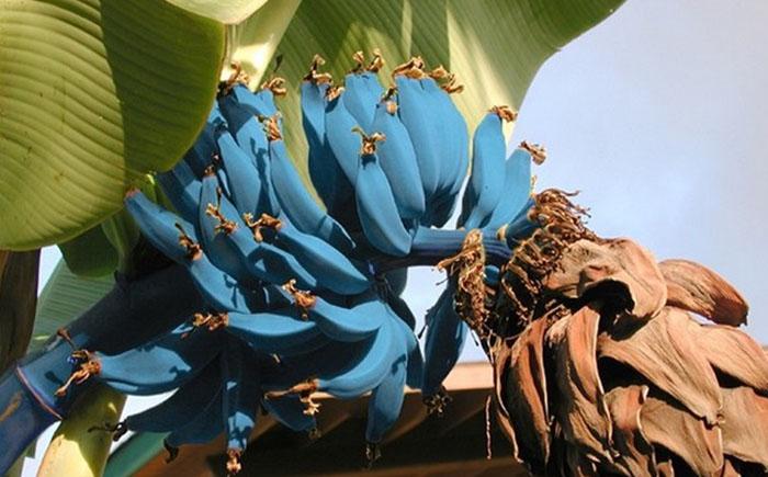Голубые бананы