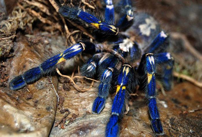 Голубой тарантул