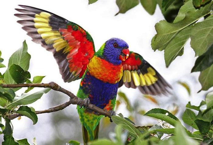 Радужный попугай