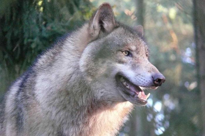 Волчье мясо